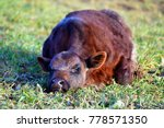 Sleeping Cow Calf