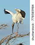 Wood Stork Display  Myctera...