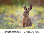 Stock photo european hare stands in the grass and looking at the camera 778609723