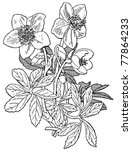 plant helleborus niger | Shutterstock .eps vector #77864233