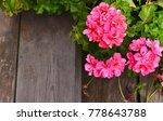 Pink Geranium In Summer Garden...