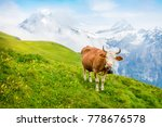 Cattle On A Mountain Pasture....