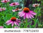 Coneflower  echinacea...
