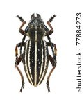 Small photo of Beetle Dorcadion arietinum zhalanash on the white background