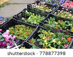 spring seedlings of flowers in... | Shutterstock . vector #778877398