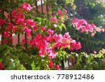the flowering bougainvillea in... | Shutterstock . vector #778912486
