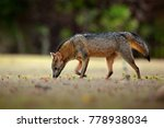crab eating fox  cerdocyon... | Shutterstock . vector #778938034