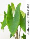 Small photo of Alocasia zebrina plant
