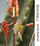 the common tailorbird ...   Shutterstock . vector #778953928