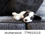 Stock photo a week old springer spaniel puppy relaxing on a sofa 779015113