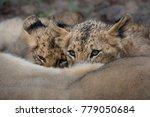 lion cubs suckling | Shutterstock . vector #779050684