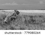 lions in b w   Shutterstock . vector #779080264