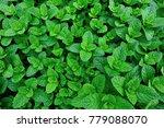 green mint plants growing at... | Shutterstock . vector #779088070