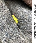 Small photo of Cute vivid yellow fuzzy caterpillar with a red tail wondering around over a gray textured fleece blanket surface competing against it in fuzziness