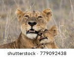 a female lion with her cubs... | Shutterstock . vector #779092438
