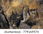 leopard  panthera pardus ... | Shutterstock . vector #779169574