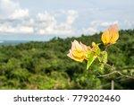Bougainvillea Beautiful Yellow...