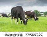 friesian cows grazing in a...   Shutterstock . vector #779203720