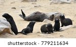 young cape fur seals young ... | Shutterstock . vector #779211634