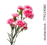 the pink flowering carnations  | Shutterstock . vector #779219080