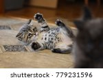 Stock photo cute kitten belly 779231596