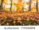 beautiful red maple leaves in... | Shutterstock . vector #779260858