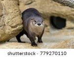 North American River Otter In...