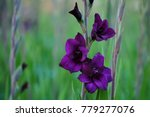Violet Gladiolus With Space For ...