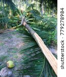 Small photo of Coconut tree is deduct in the garden