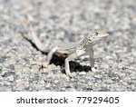 A Coachella Valley Fringe-toed lizard. - stock photo