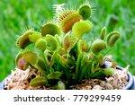 potted venus flytrap  | Shutterstock . vector #779299459