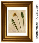 Small photo of Herbarium from pressed and dried flower of dandelion (Taraxacum) in the frame