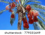 Date Palm Tree With Dates On...