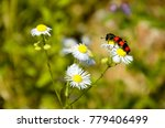 red and black bug | Shutterstock . vector #779406499