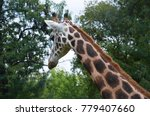 giraffe in the wild  | Shutterstock . vector #779407660