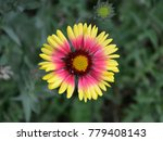 daisy flower in a field | Shutterstock . vector #779408143