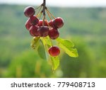 cherries on a branch | Shutterstock . vector #779408713