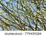"kapok "" or  white silk cotton... | Shutterstock . vector #779459284"