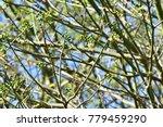 "kapok "" or  white silk cotton... | Shutterstock . vector #779459290"
