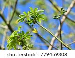 "kapok "" or  white silk cotton... | Shutterstock . vector #779459308"