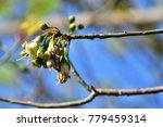 "kapok "" or  white silk cotton... | Shutterstock . vector #779459314"