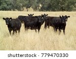 Angus Cattle  A Variety That I...