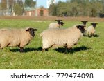 Suffolk Mature Sheep  Suffolk...