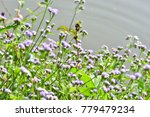 ageratum conyzoides  goat weed  ... | Shutterstock . vector #779479234