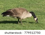 Canada Goose Eating Grass