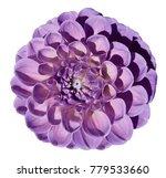 violet dahlia flower  white... | Shutterstock . vector #779533660