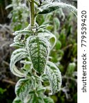 Small photo of On a cold Winter Solstice morning, a wild plant in the middle of a forest is covered in frost that enhances the texture of the leaves
