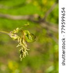 Small photo of Female flowers on branch ash-leaved maple, Acer negundo, macro with bokeh background, selective focus, shallow DOF