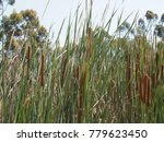 a field of brown typha plant | Shutterstock . vector #779623450