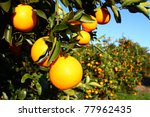 beautiful orange groves of... | Shutterstock . vector #77962435